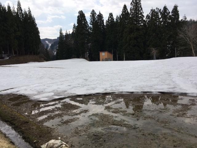 まだ雪に覆われている秘密の田んぼ
